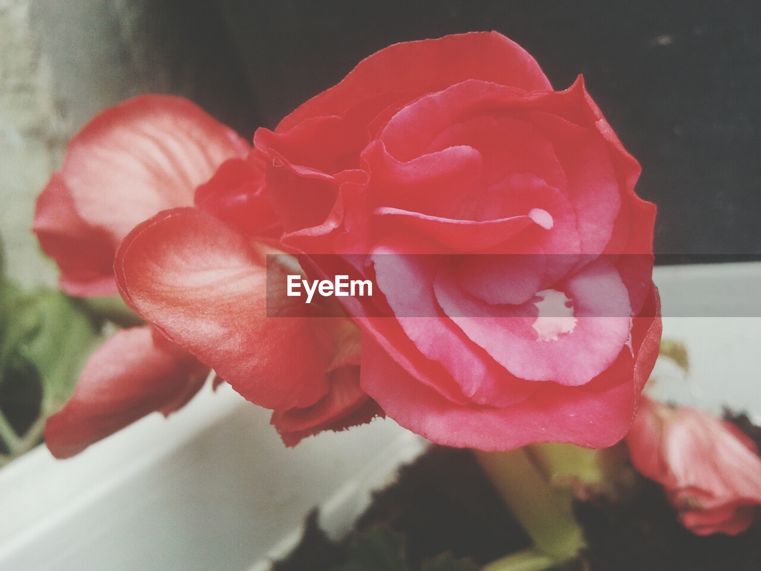 flower, petal, flower head, rose - flower, freshness, fragility, close-up, red, indoors, single flower, rose, focus on foreground, beauty in nature, growth, blooming, nature, plant, pink color, no people, selective focus