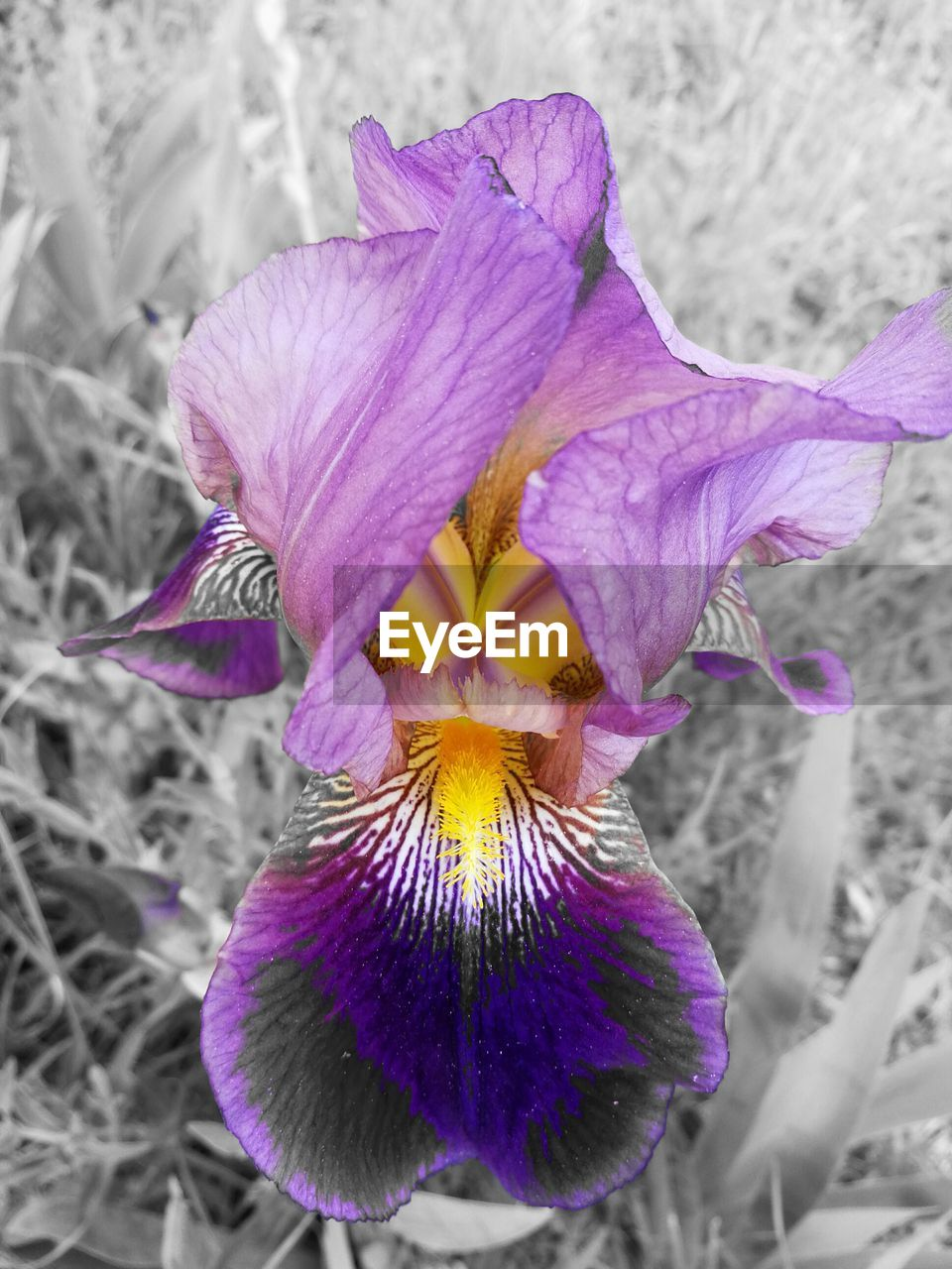 flower, petal, fragility, purple, flower head, freshness, beauty in nature, growth, nature, close-up, day, iris, blooming, iris - plant, plant, outdoors, no people, crocus, passion flower