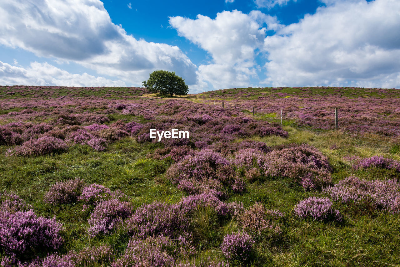 cloud - sky, sky, beauty in nature, plant, environment, tranquility, tranquil scene, landscape, growth, land, scenics - nature, field, flower, nature, no people, flowering plant, day, purple, non-urban scene, tree, outdoors, lavender