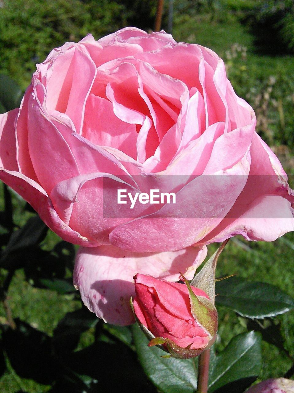 Close-up of pink rose blooming in park
