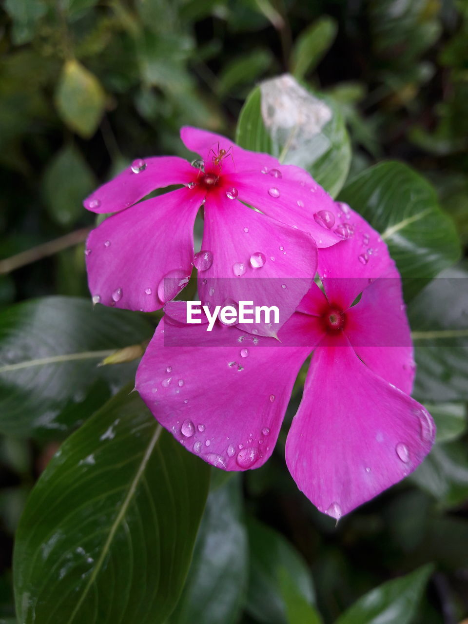 flower, petal, pink color, flower head, fragility, drop, growth, wet, periwinkle, water, day, beauty in nature, nature, blooming, close-up, no people, outdoors, freshness, petunia