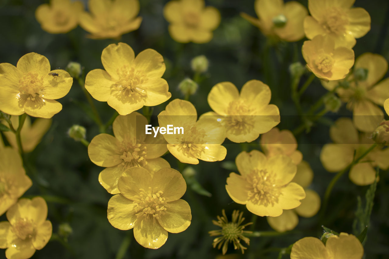 flowering plant, flower, vulnerability, fragility, growth, plant, beauty in nature, freshness, close-up, petal, flower head, inflorescence, no people, nature, yellow, focus on foreground, day, selective focus, outdoors, field