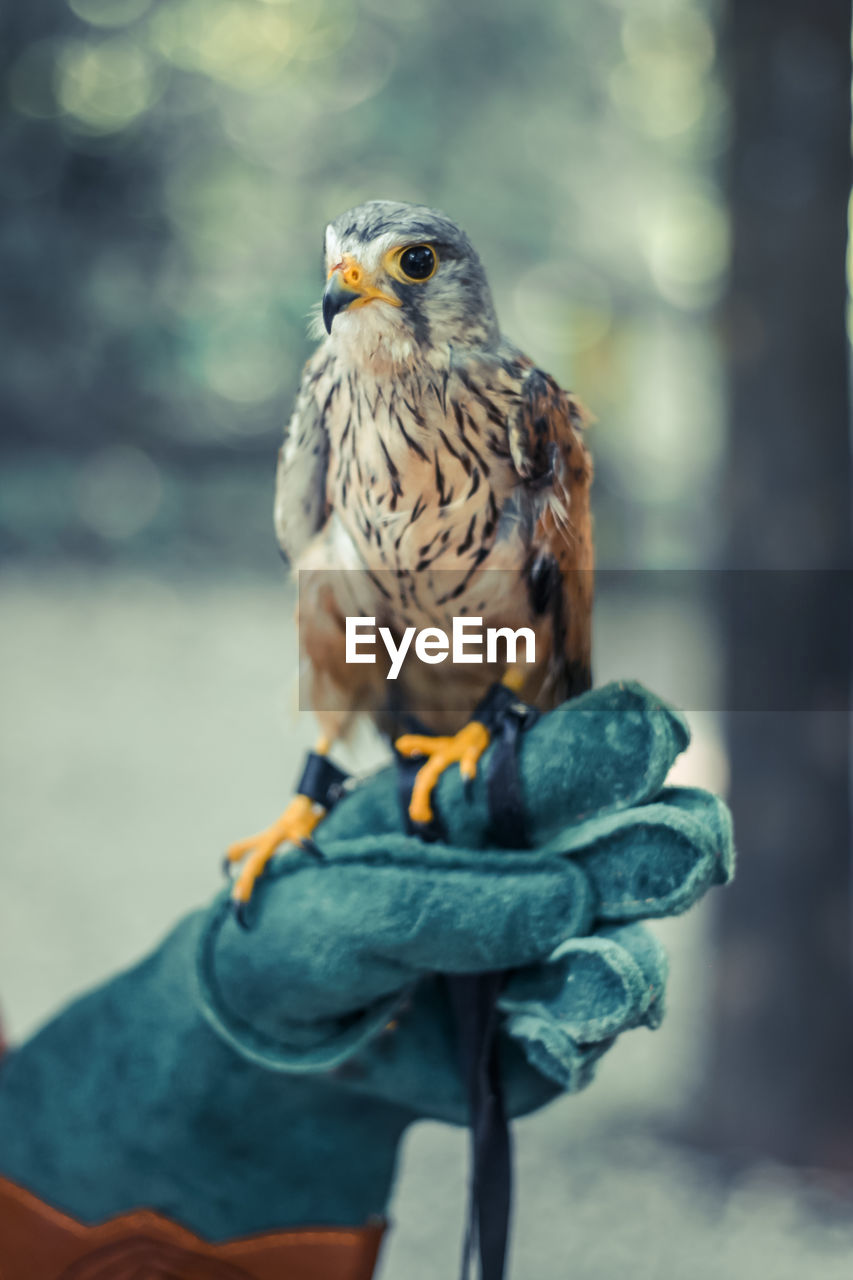 Cropped Image Of Falconer Holding Kestrel Bird