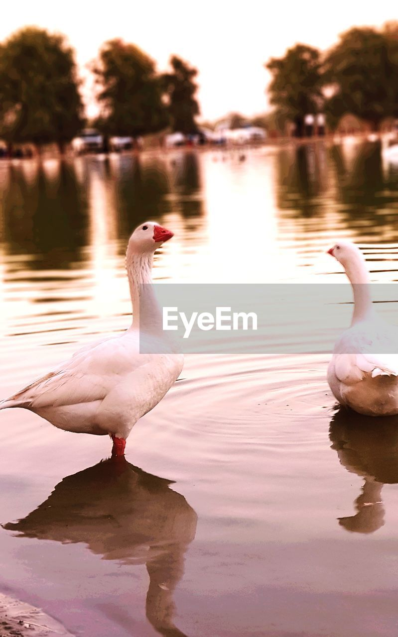 bird, animals in the wild, water, vertebrate, animal, animal themes, lake, animal wildlife, reflection, nature, group of animals, waterfront, no people, water bird, swan, day, beauty in nature, zoology, two animals, animal neck