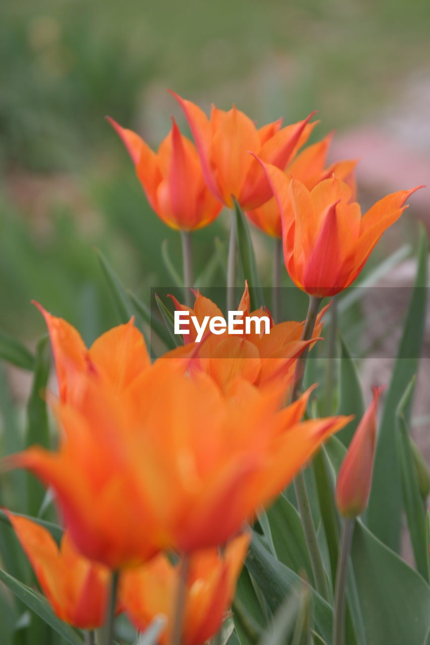 flower, growth, petal, beauty in nature, plant, nature, orange color, fragility, freshness, flower head, blooming, outdoors, close-up, no people, day