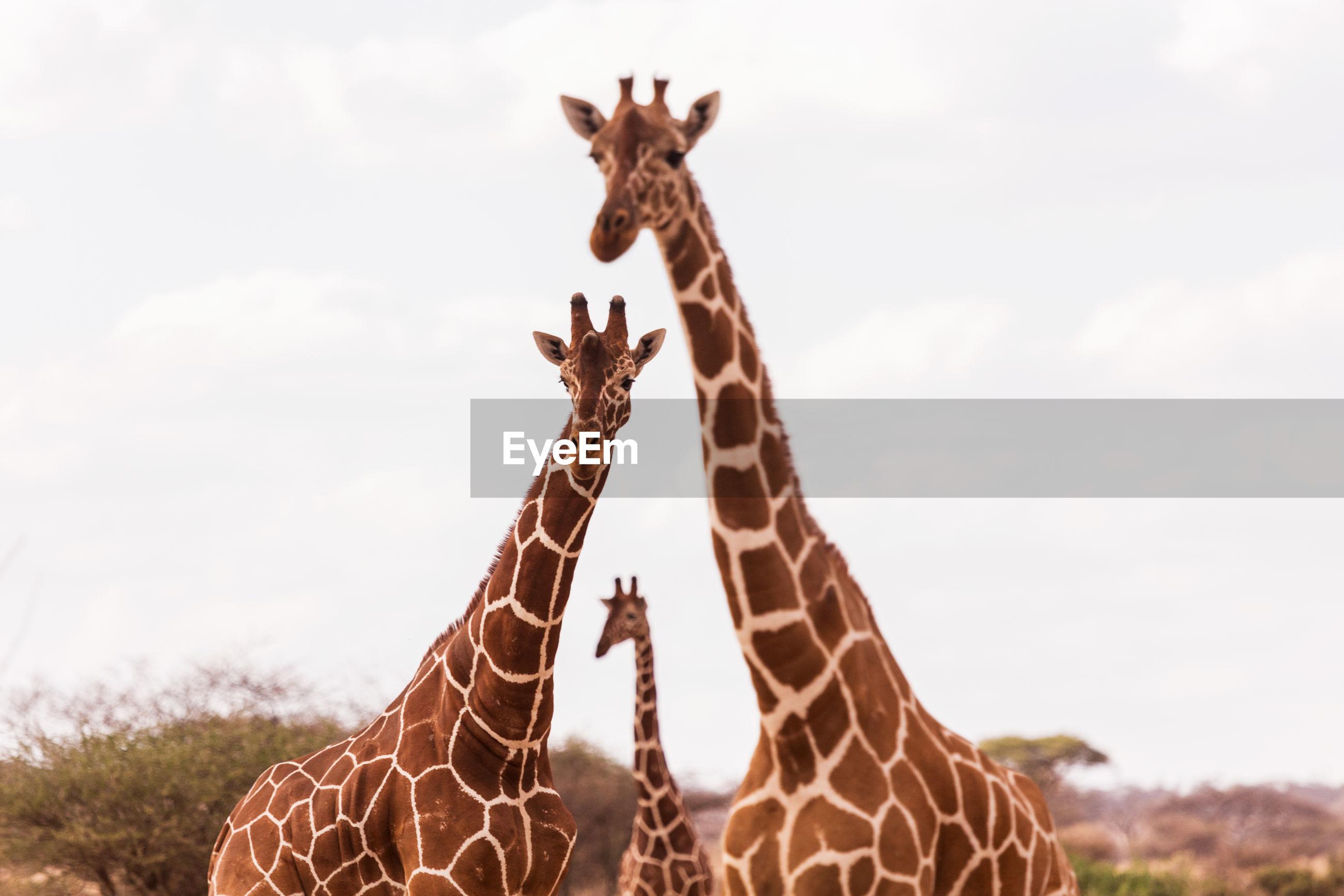 Giraffes standing against sky