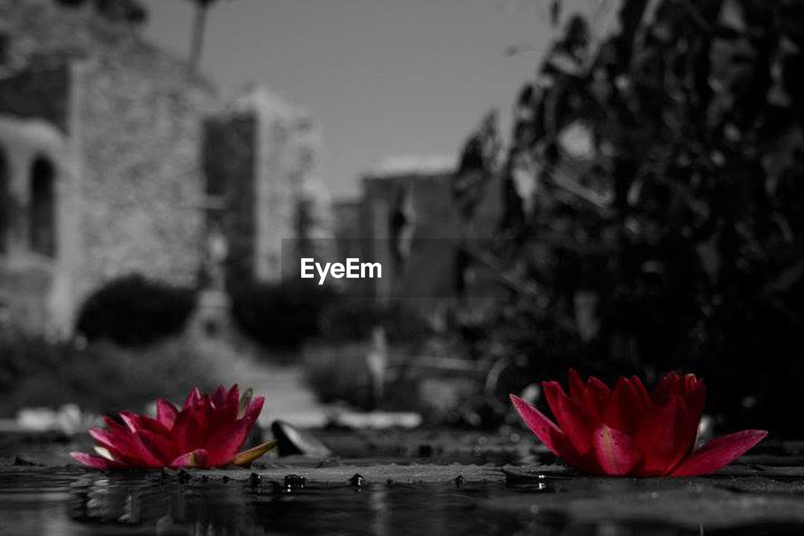 flower, petal, fragility, freshness, flower head, focus on foreground, water, pink color, close-up, red, blooming, beauty in nature, building exterior, nature, built structure, architecture, growth, day, outdoors, in bloom