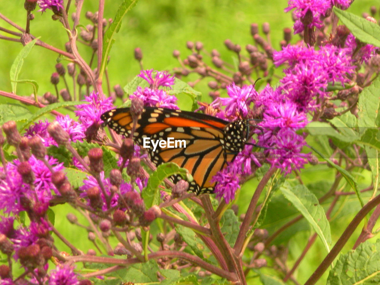 flower, flowering plant, animal wildlife, animal themes, invertebrate, insect, animal, one animal, plant, beauty in nature, animals in the wild, butterfly - insect, animal wing, growth, fragility, freshness, petal, close-up, vulnerability, flower head, no people, purple, pollination, outdoors, butterfly