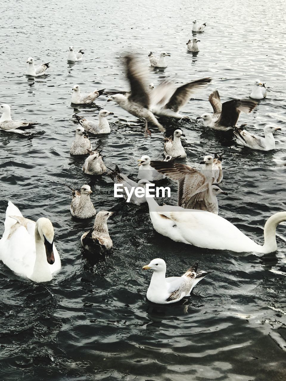 bird, water, animal themes, lake, animals in the wild, swan, nature, swimming, animal wildlife, high angle view, white color, water bird, no people, waterfront, day, large group of animals, outdoors, beauty in nature