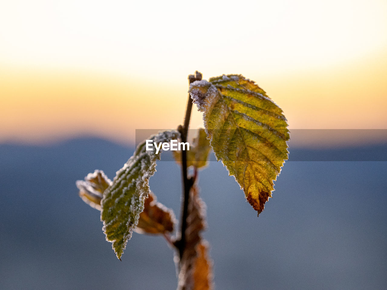 Close-up of leaves on plant against sky during sunset