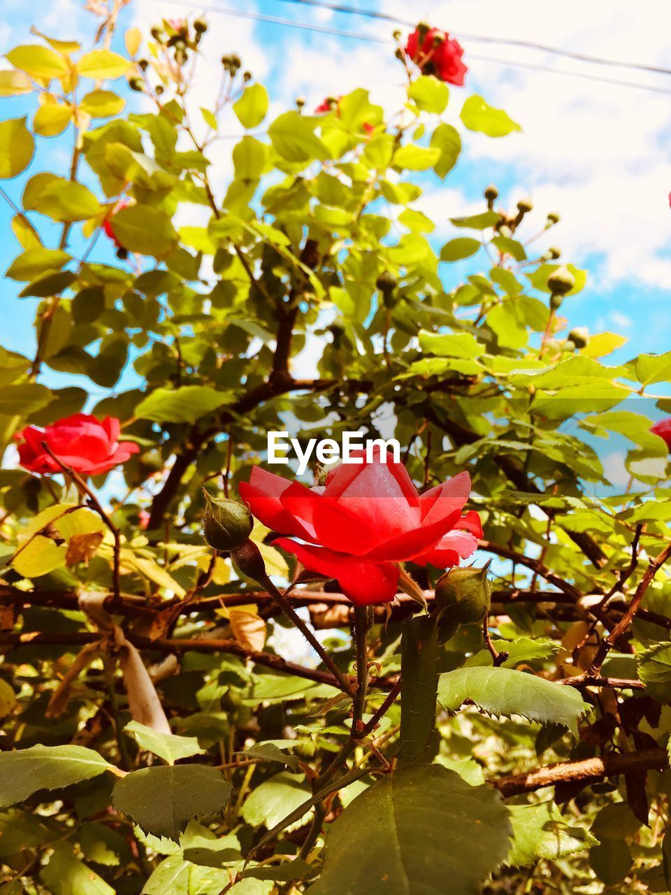 plant, flowering plant, flower, beauty in nature, vulnerability, fragility, petal, freshness, growth, close-up, nature, flower head, inflorescence, plant part, red, leaf, pink color, day, no people, focus on foreground, outdoors