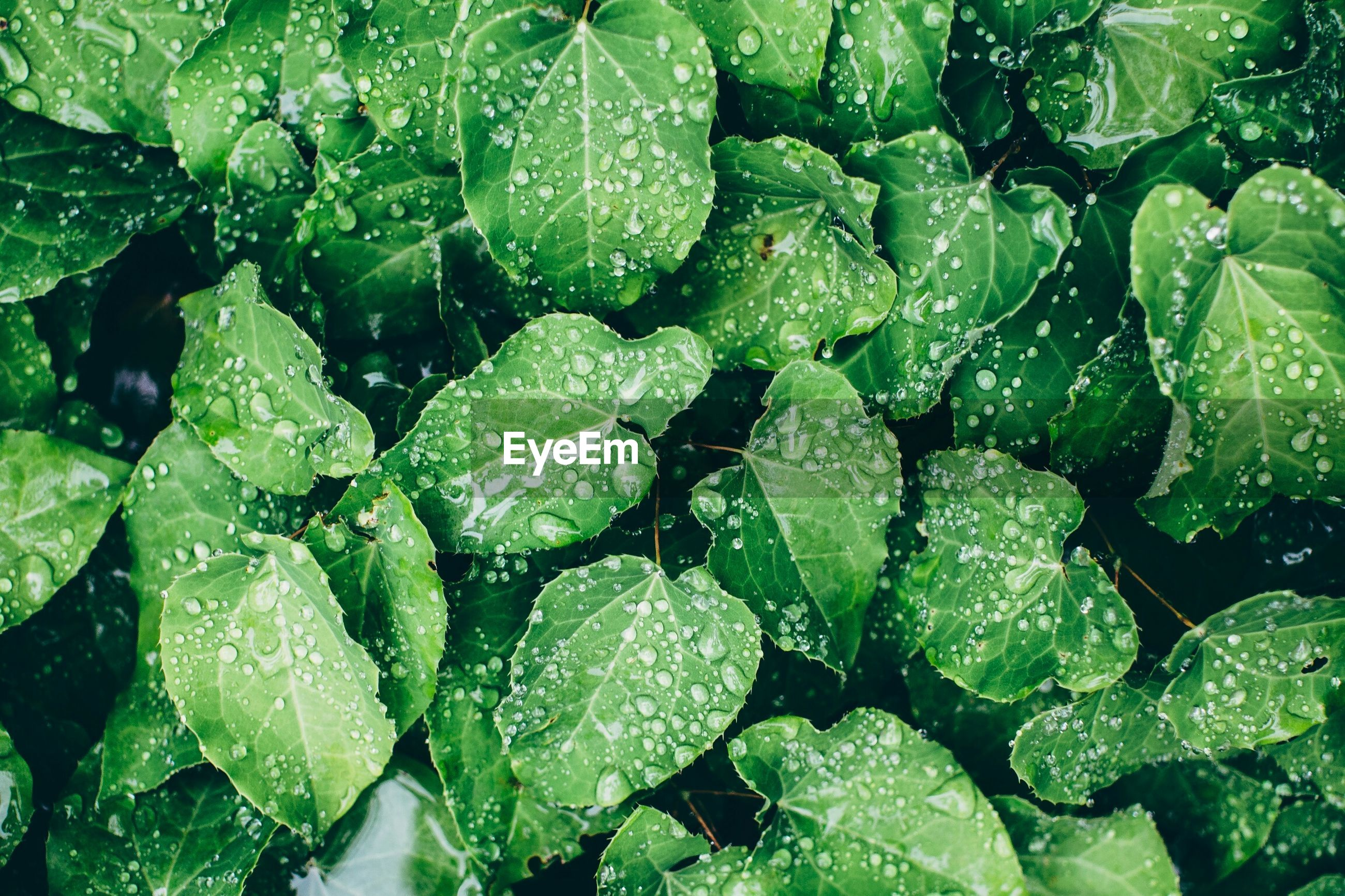 Full frame shot of fresh green leaves with rain drops