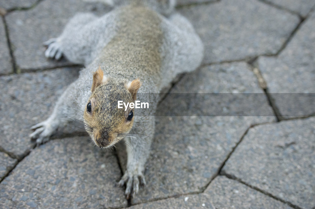 rodent, one animal, mammal, animal wildlife, no people, animals in the wild, squirrel, focus on foreground, high angle view, vertebrate, day, close-up, footpath, outdoors, gray, nature, full length, whisker