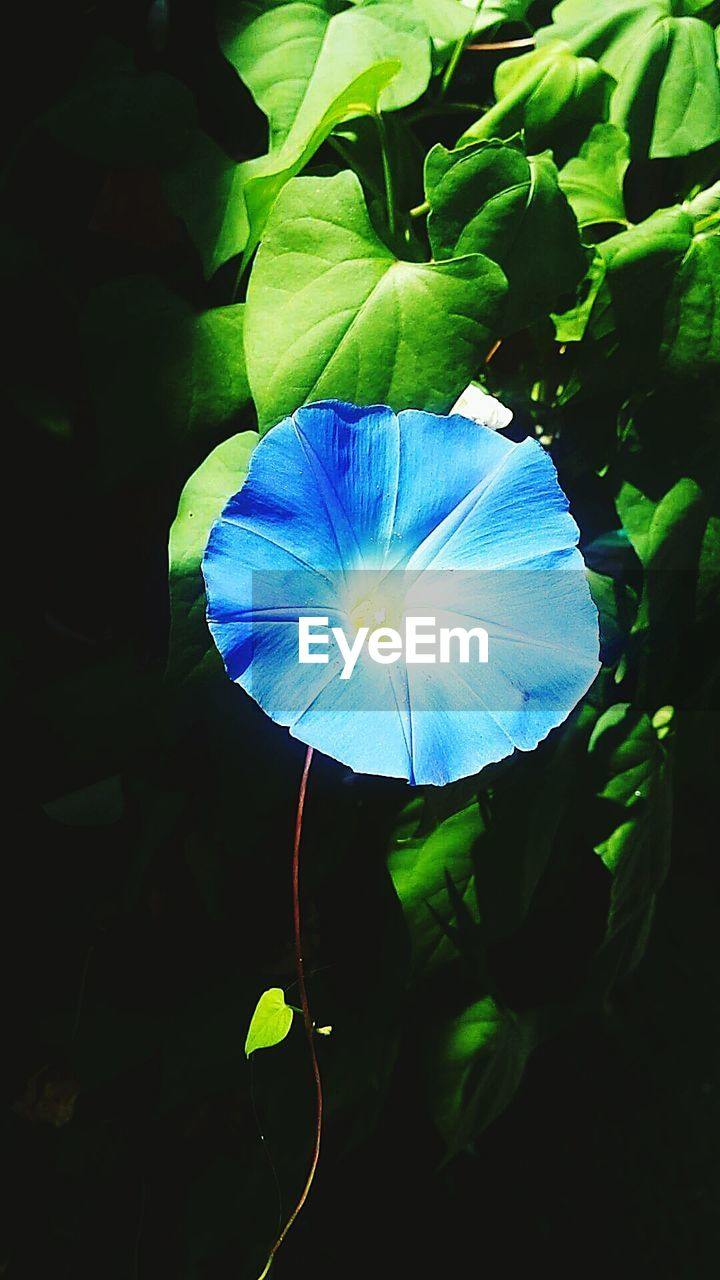 flower, fragility, beauty in nature, petal, nature, freshness, growth, flower head, close-up, plant, no people, blue, day, outdoors, blooming