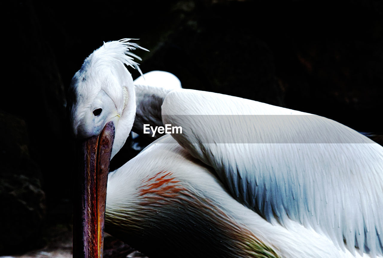 Close-up of white pelican