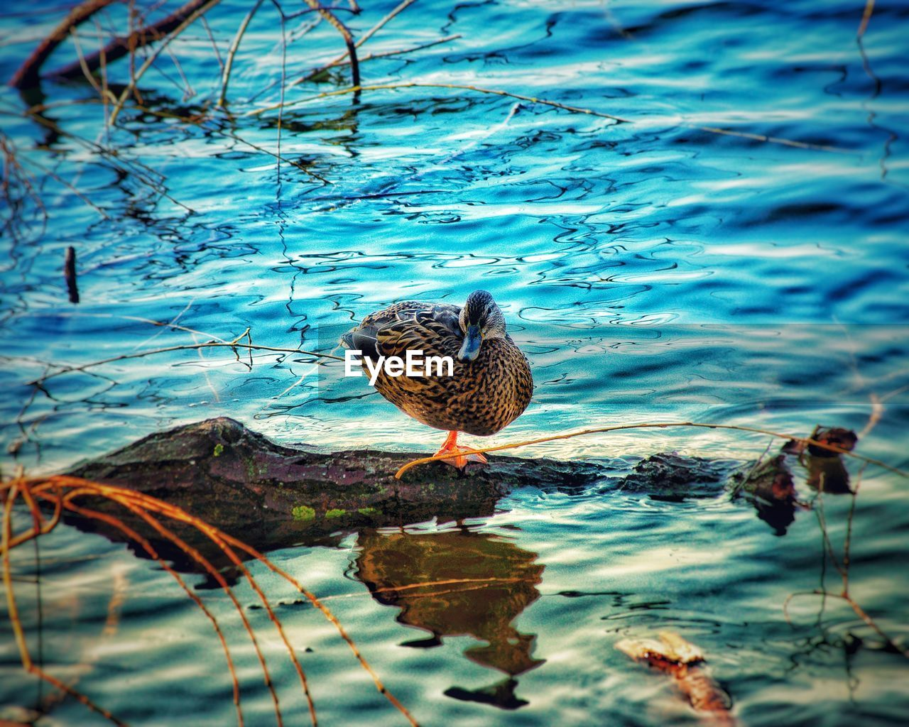 animal themes, animal, water, animal wildlife, vertebrate, animals in the wild, bird, one animal, lake, duck, nature, poultry, day, reflection, no people, perching, mallard duck, water bird, beauty in nature