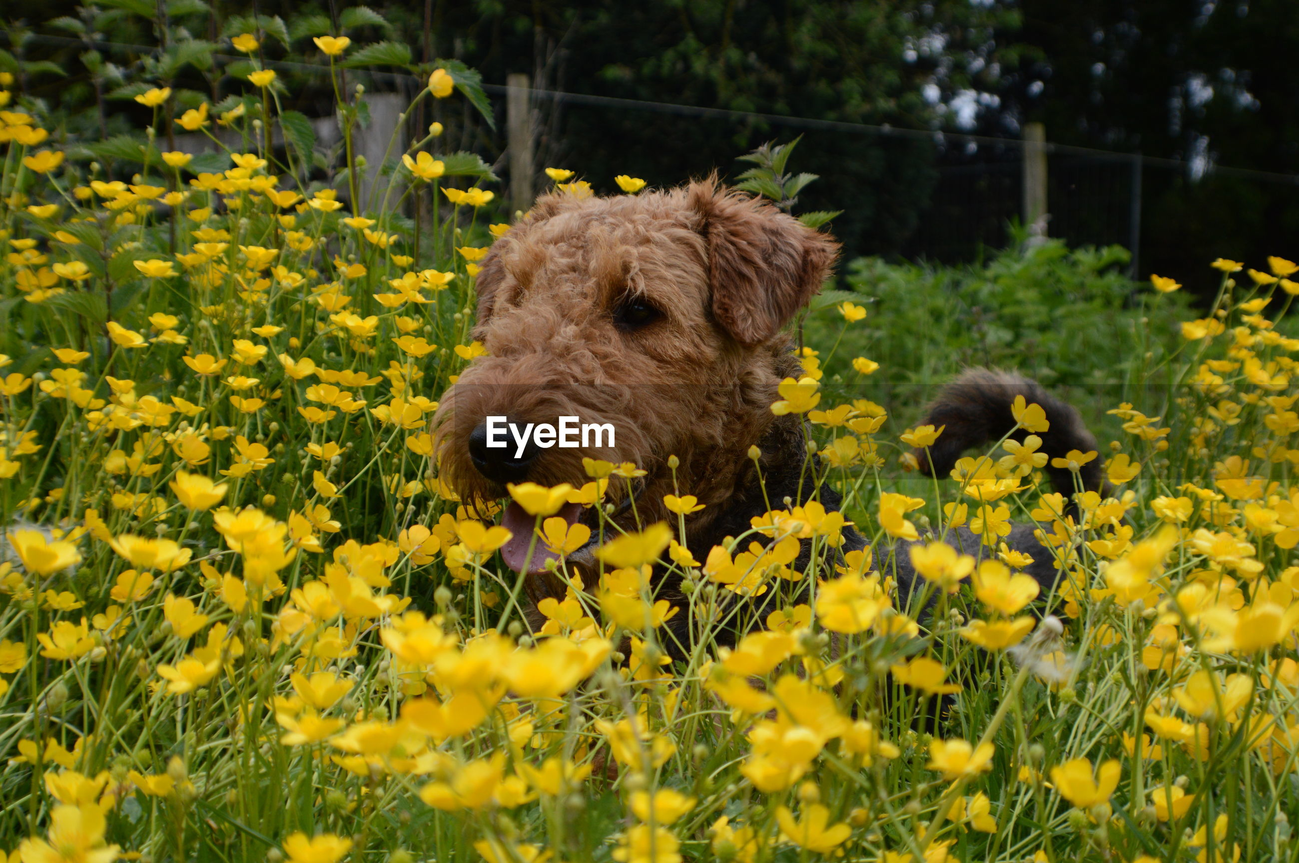 Wire fox terrier amidst yellow flowering plants