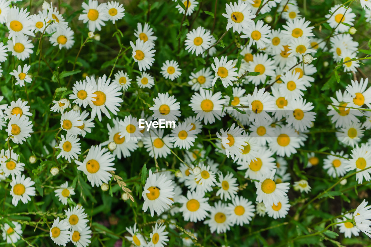HIGH ANGLE VIEW OF DAISIES IN FIELD