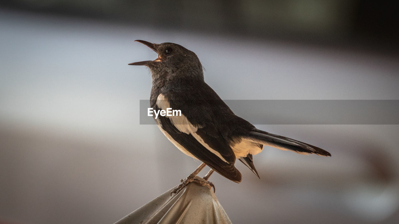 bird, vertebrate, animal themes, animal, animal wildlife, animals in the wild, one animal, perching, focus on foreground, no people, close-up, day, nature, full length, outdoors, looking, selective focus, side view, looking away, black color