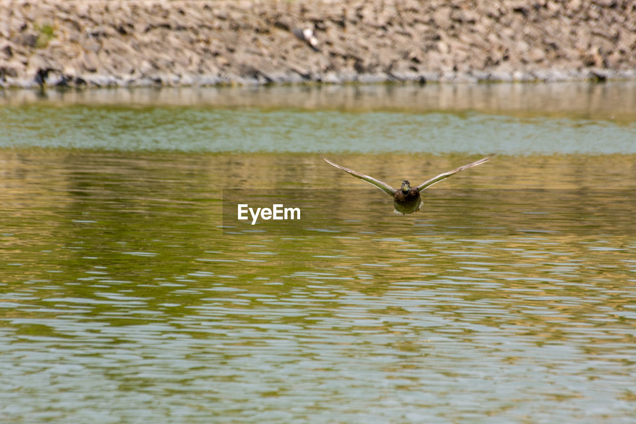 one animal, animal wildlife, animal themes, animal, water, animals in the wild, flying, vertebrate, lake, spread wings, nature, bird, no people, day, reflection, mid-air, waterfront, beauty in nature