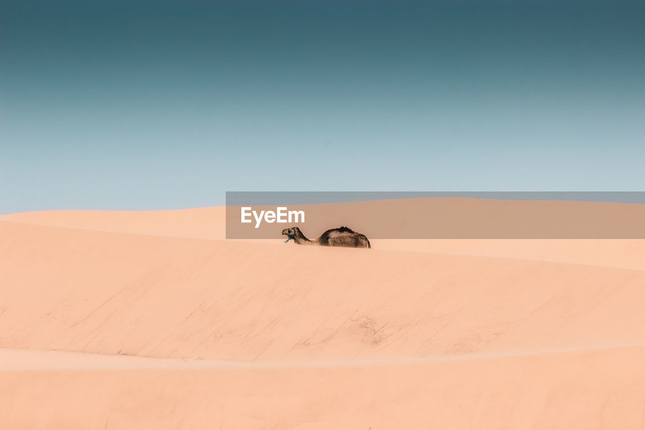 desert, landscape, sand dune, sky, arid climate, climate, scenics - nature, sand, environment, copy space, clear sky, land, nature, day, no people, blue, beauty in nature, remote, animal, extreme terrain