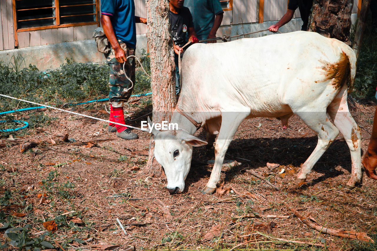 livestock, animal themes, domestic animals, cow, mammal, outdoors, day, low section, real people, human body part, nature, one person, close-up, people