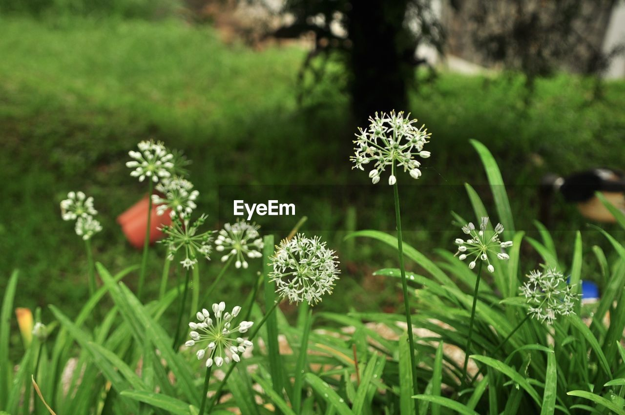 flower, nature, growth, plant, green color, beauty in nature, no people, grass, tranquility, outdoors, fragility, day, freshness, blooming, flower head, close-up