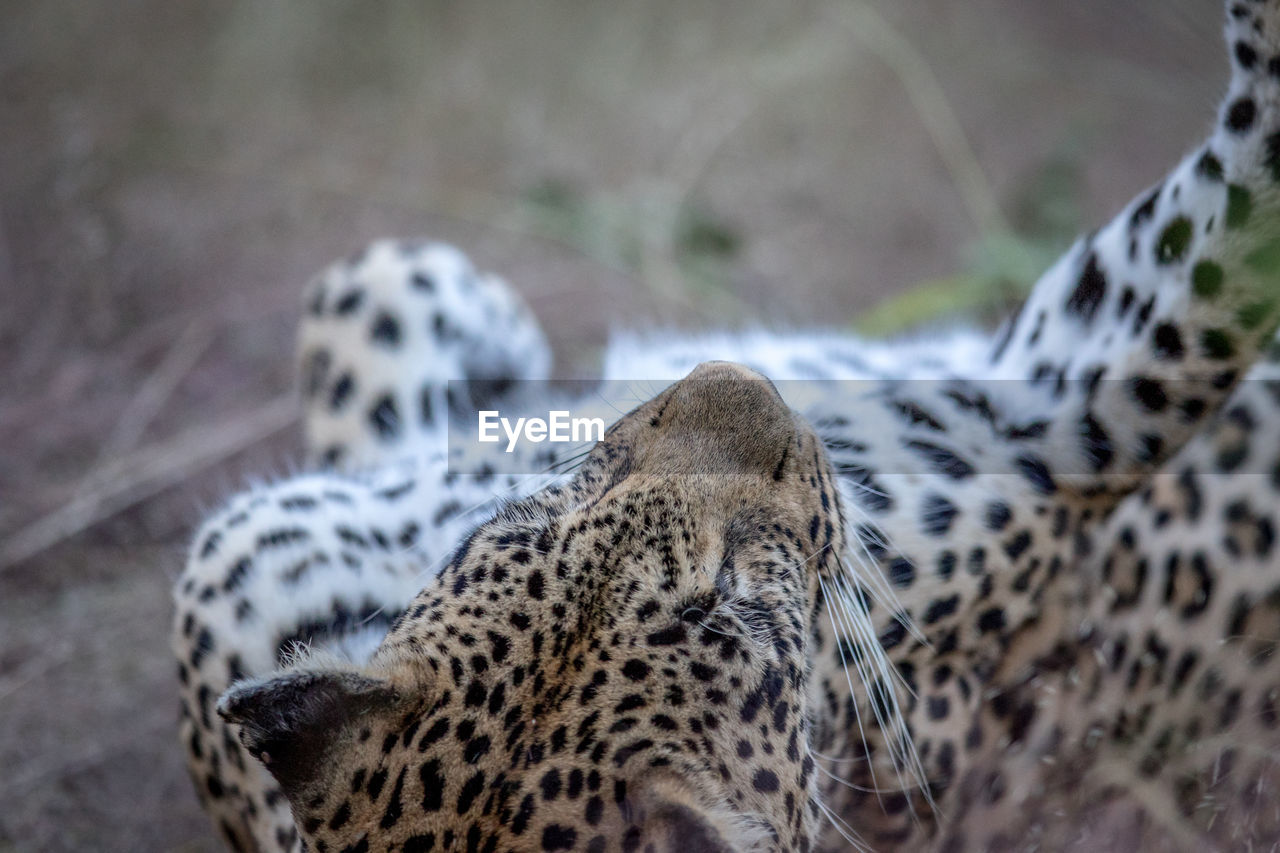 Close-Up Of Leopard Relaxing In Forest