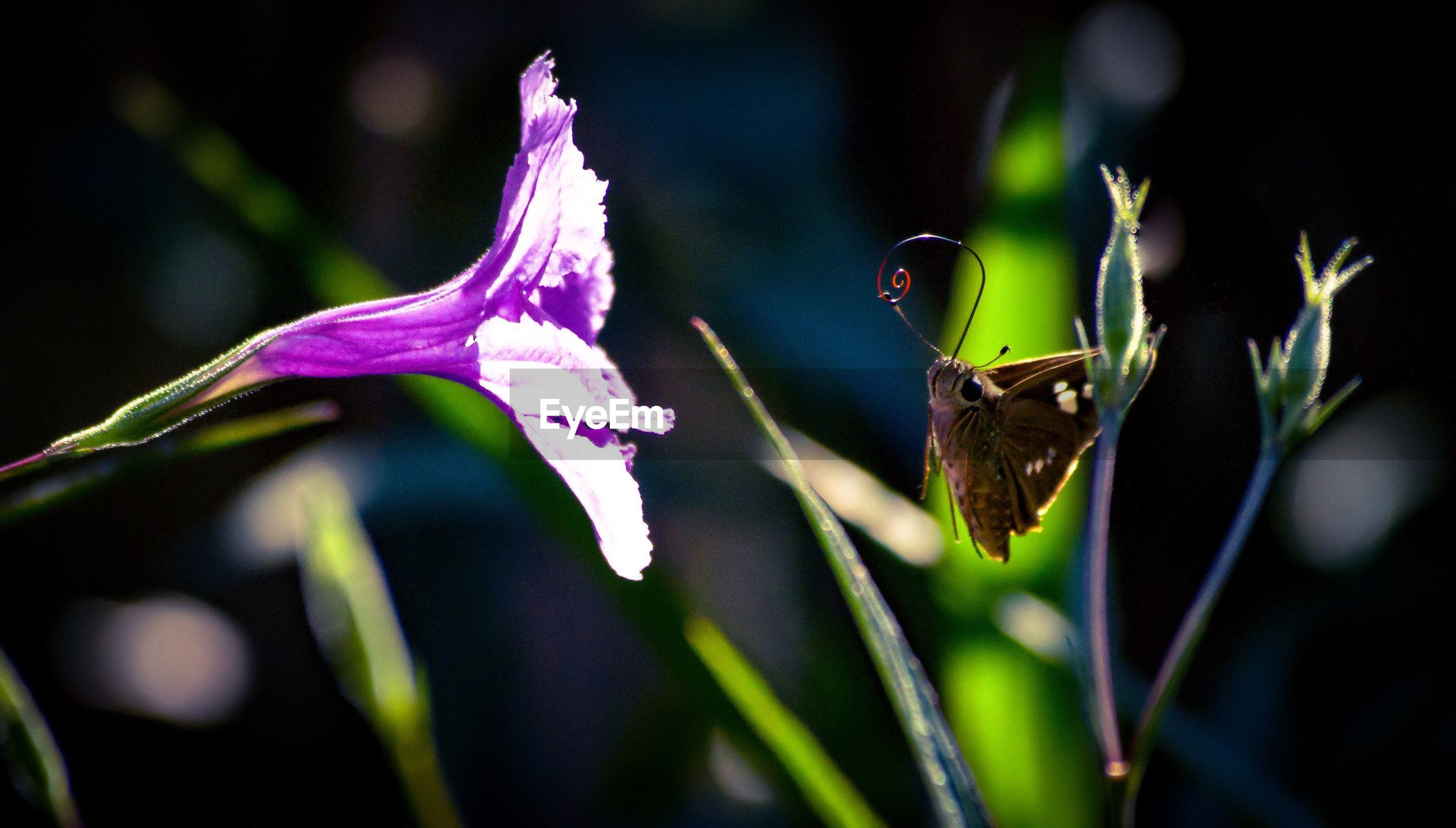 Close-up of butterfly in front of purple flower