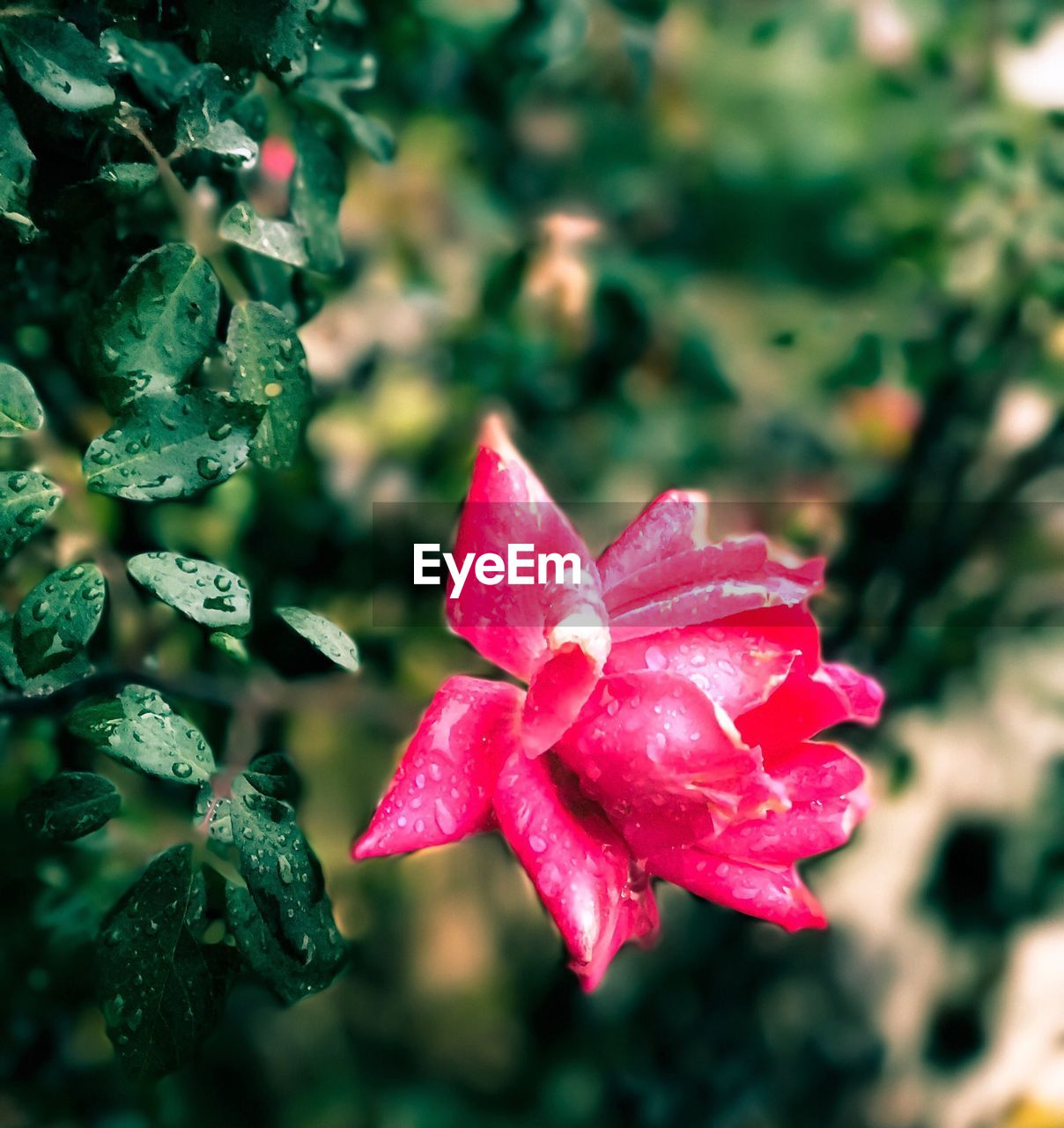 flower, growth, petal, nature, beauty in nature, fragility, drop, red, wet, flower head, freshness, rose - flower, no people, focus on foreground, plant, close-up, day, pink color, outdoors, blooming, water