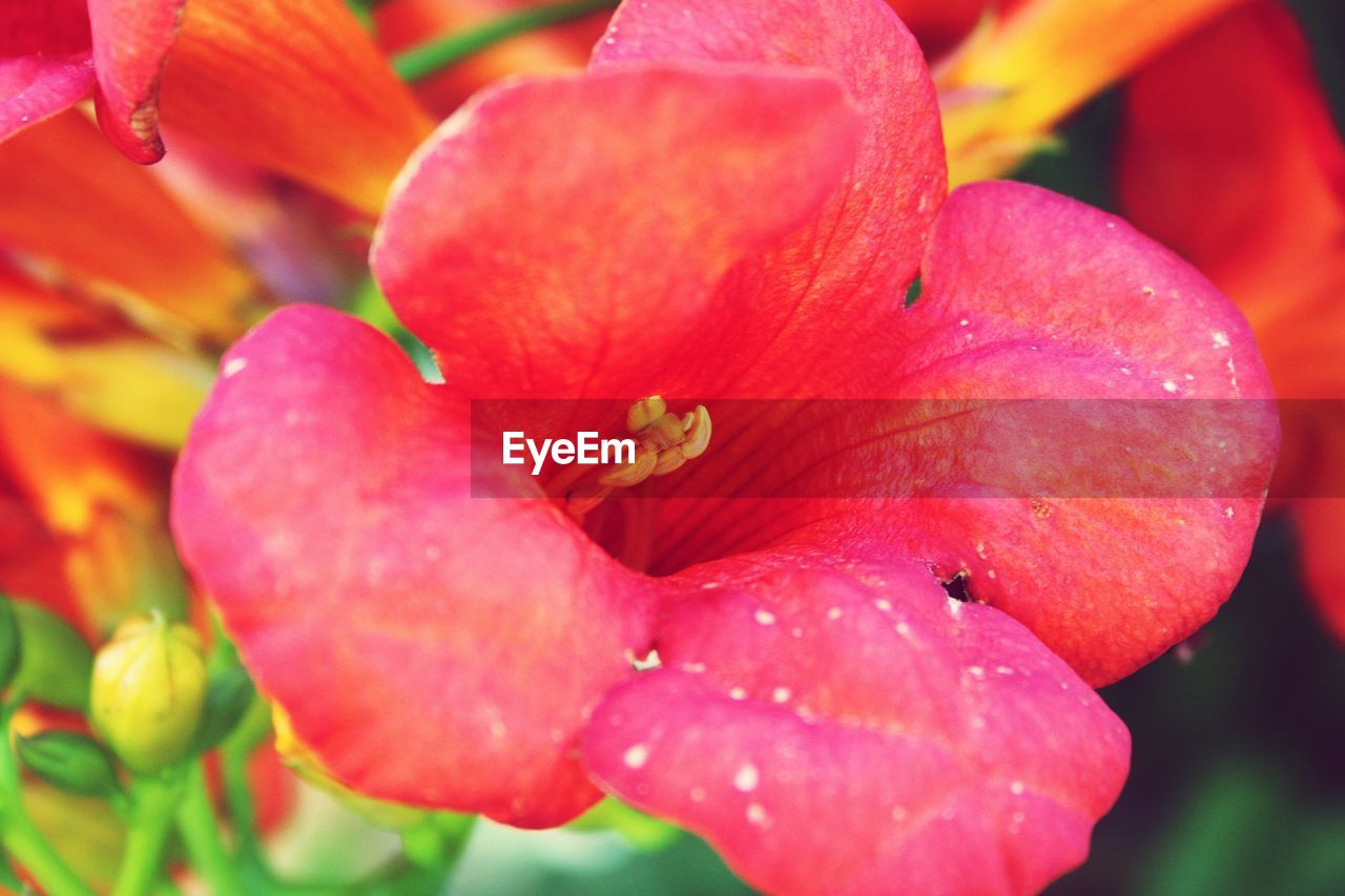 growth, petal, flower, beauty in nature, nature, drop, flower head, fragility, close-up, plant, stamen, freshness, no people, outdoors, red, wet, raindrop, blooming, springtime, day lily, day, backgrounds, water