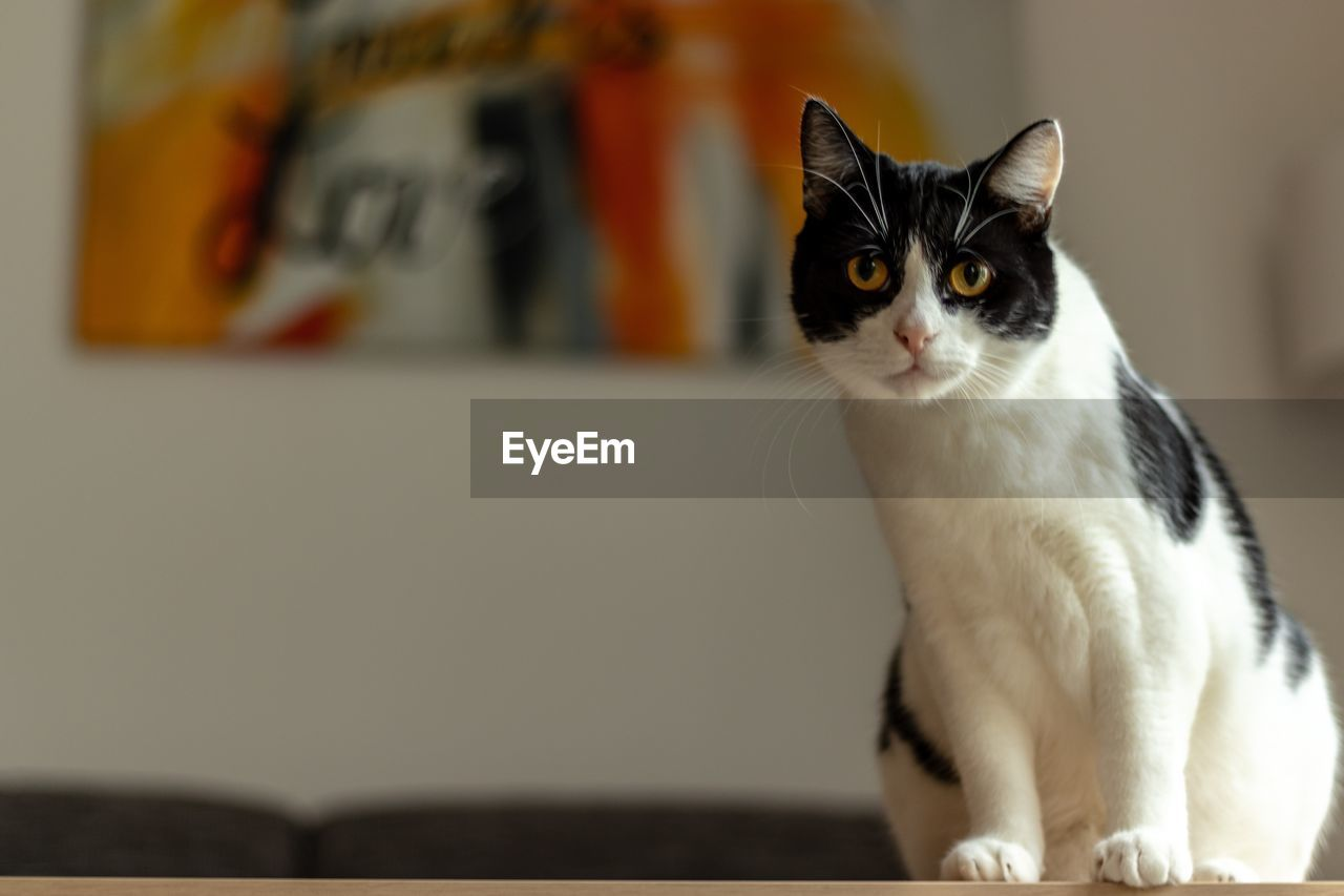 pets, cat, domestic, domestic animals, domestic cat, feline, mammal, animal themes, animal, one animal, focus on foreground, vertebrate, whisker, indoors, no people, looking, looking away, sitting, close-up, home interior, yellow eyes, animal eye