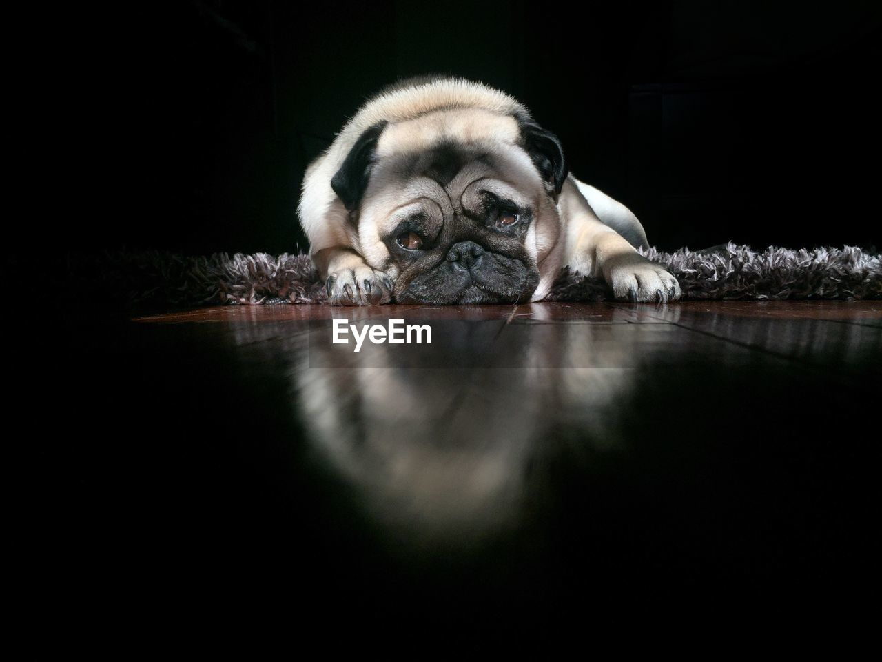 Front View Of Bulldog Lying Down On Carpet