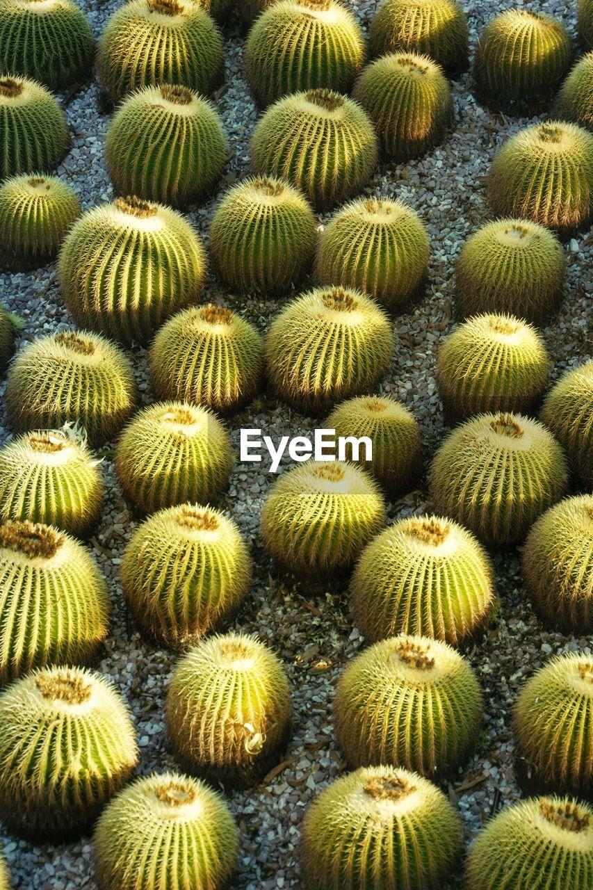 High angle view of cactus