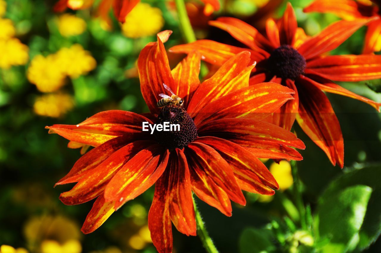 flowering plant, flower, fragility, petal, vulnerability, inflorescence, flower head, growth, close-up, plant, beauty in nature, freshness, pollen, focus on foreground, coneflower, orange color, nature, day, no people, black-eyed susan