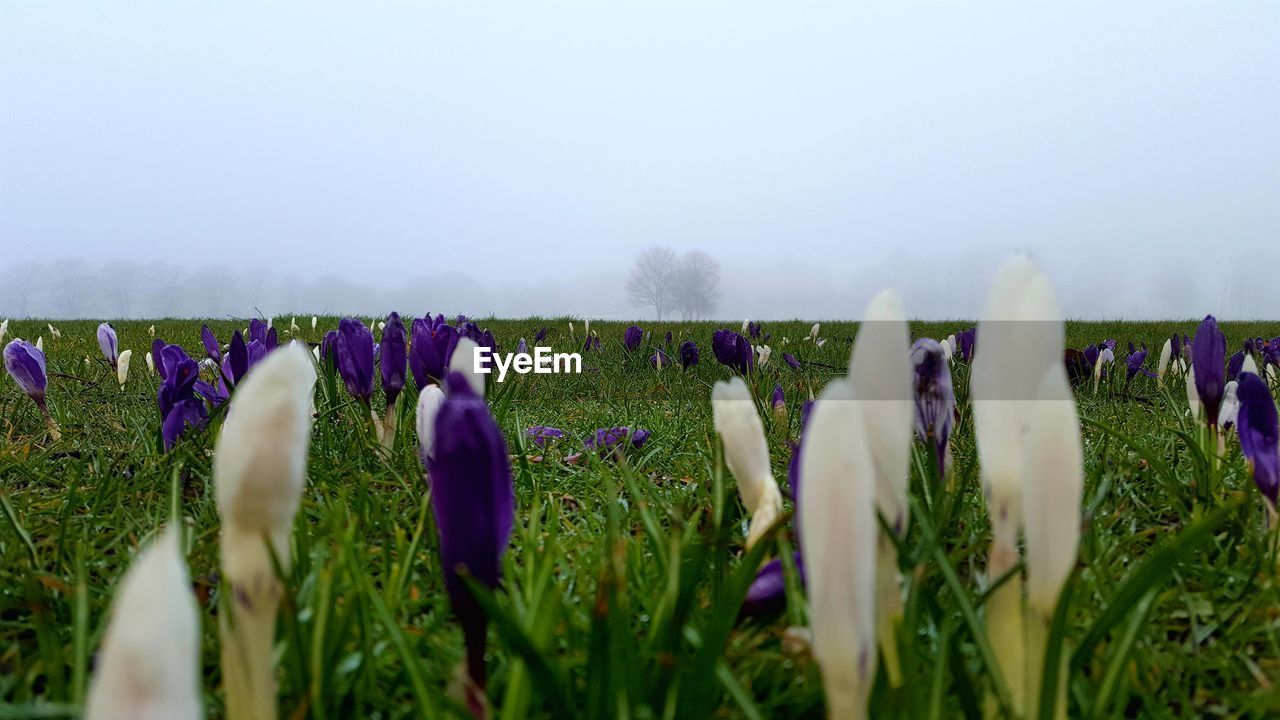 growth, nature, beauty in nature, flower, field, tranquility, day, purple, plant, outdoors, fragility, landscape, fog, no people, rural scene, grass, crocus, freshness, sky, close-up