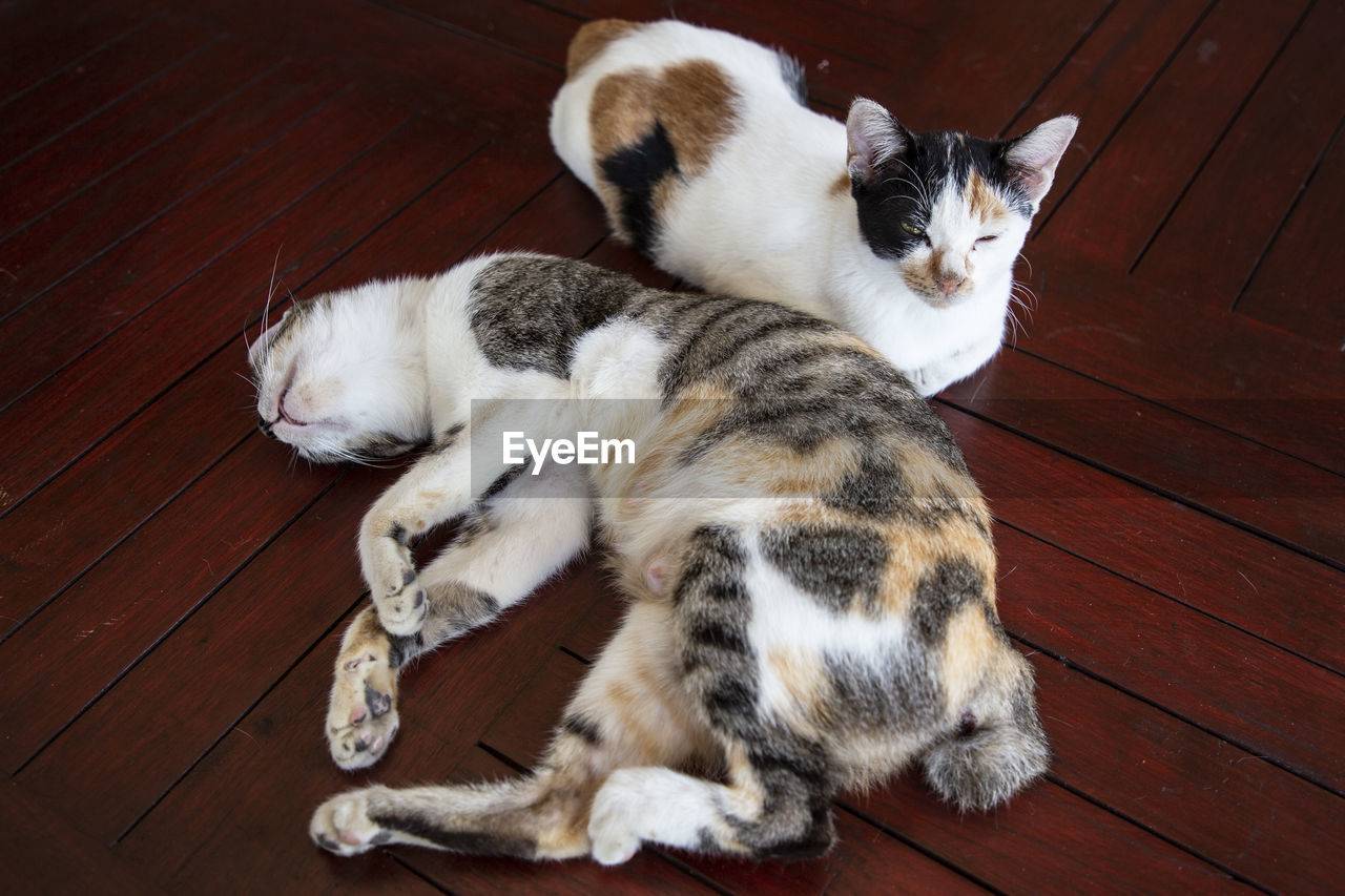 mammal, cat, animal themes, domestic animals, feline, pets, domestic, animal, domestic cat, vertebrate, group of animals, high angle view, flooring, relaxation, wood, hardwood floor, two animals, wood - material, indoors, no people, whisker, animal family