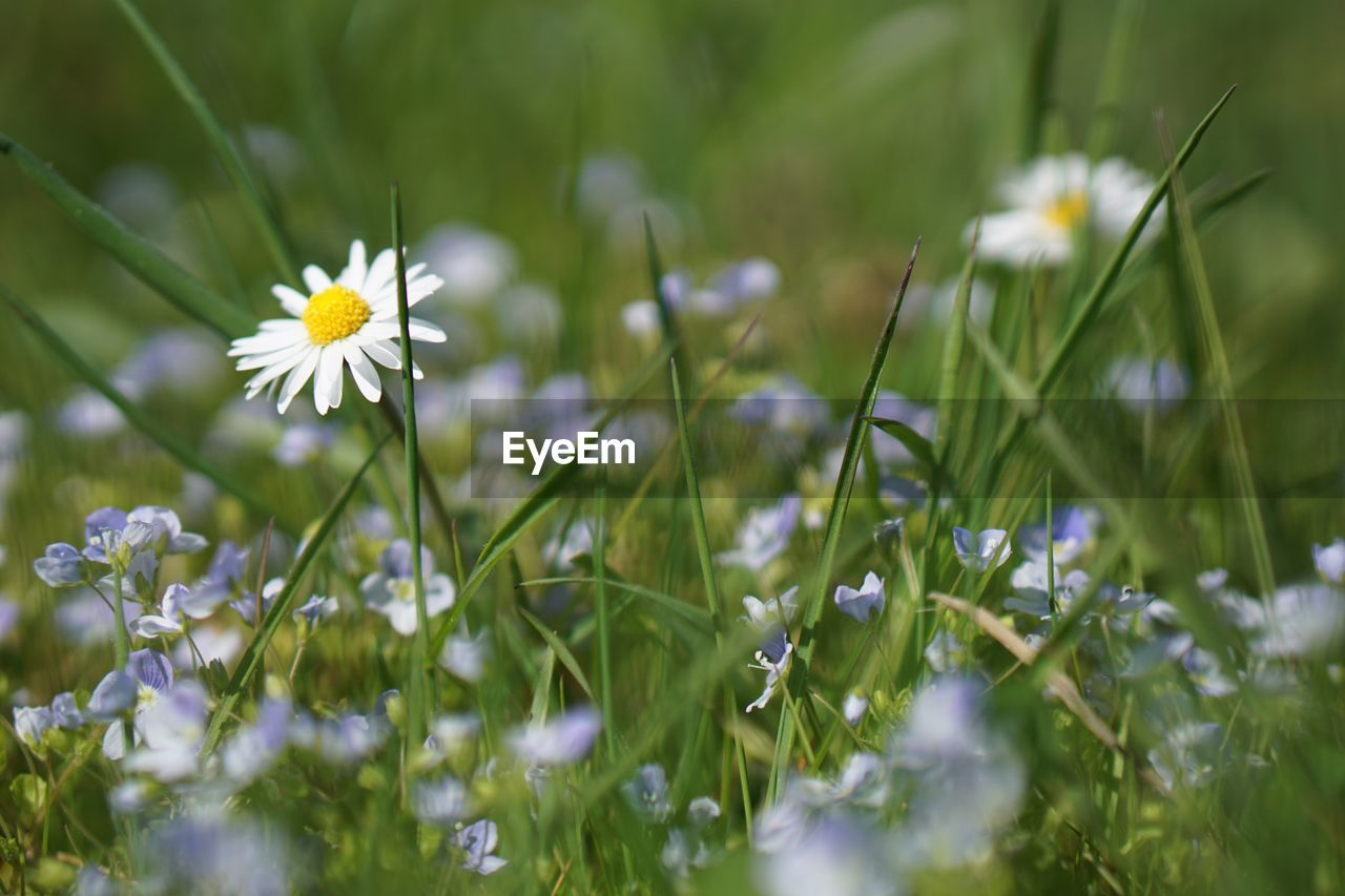plant, flowering plant, freshness, flower, growth, fragility, beauty in nature, vulnerability, selective focus, petal, field, flower head, close-up, inflorescence, nature, land, green color, day, white color, daisy, no people, outdoors, springtime, blade of grass
