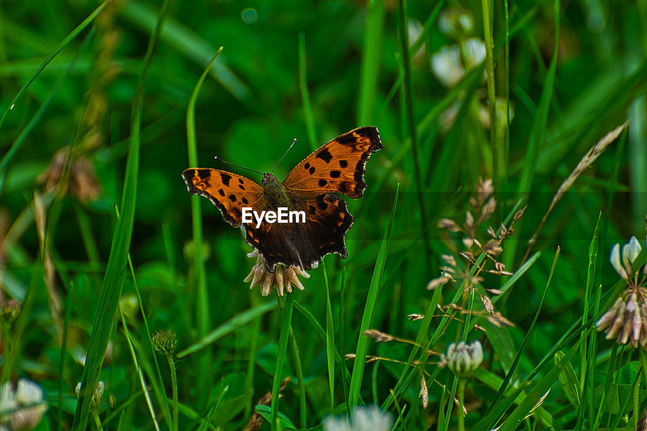 animal wildlife, animal themes, one animal, animals in the wild, animal, insect, animal wing, butterfly - insect, invertebrate, plant, beauty in nature, green color, flower, grass, nature, day, no people, growth, flowering plant, selective focus, butterfly, outdoors, pollination