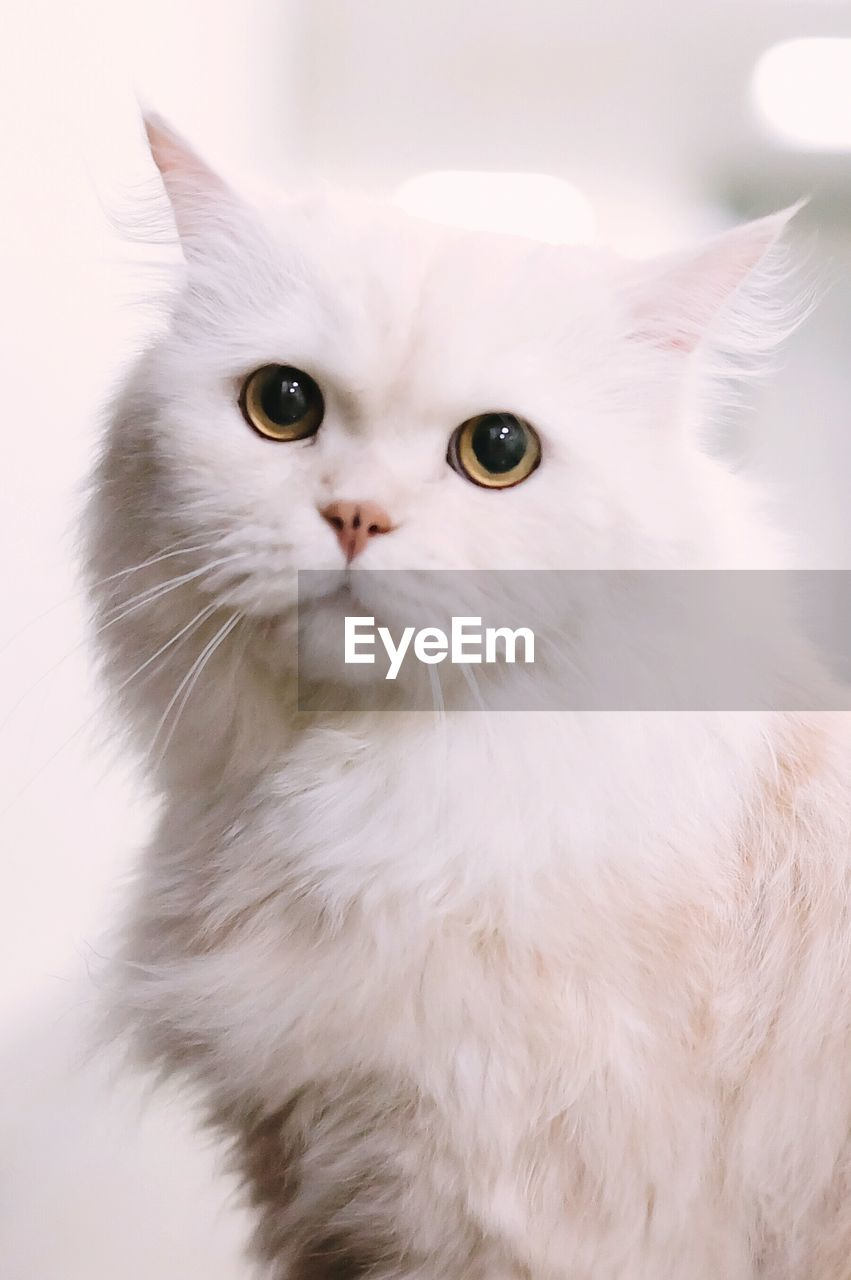 domestic, cat, domestic cat, pets, domestic animals, feline, animal themes, mammal, one animal, animal, white color, vertebrate, no people, indoors, portrait, close-up, looking, looking at camera, whisker, animal body part, persian cat, animal head, animal eye