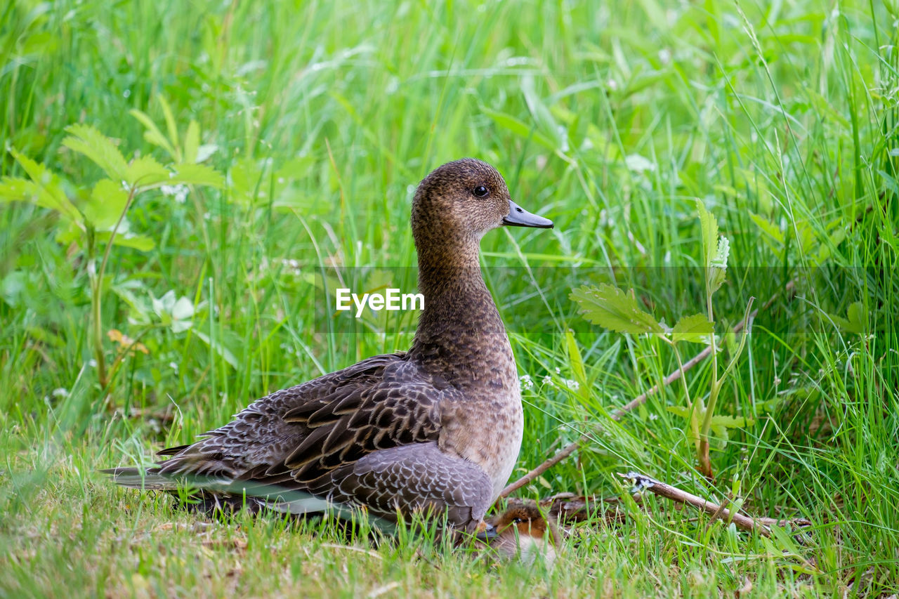 bird, grass, animal themes, animal wildlife, vertebrate, animal, animals in the wild, plant, green color, nature, no people, land, field, one animal, growth, duck, day, young animal, selective focus, young bird, outdoors