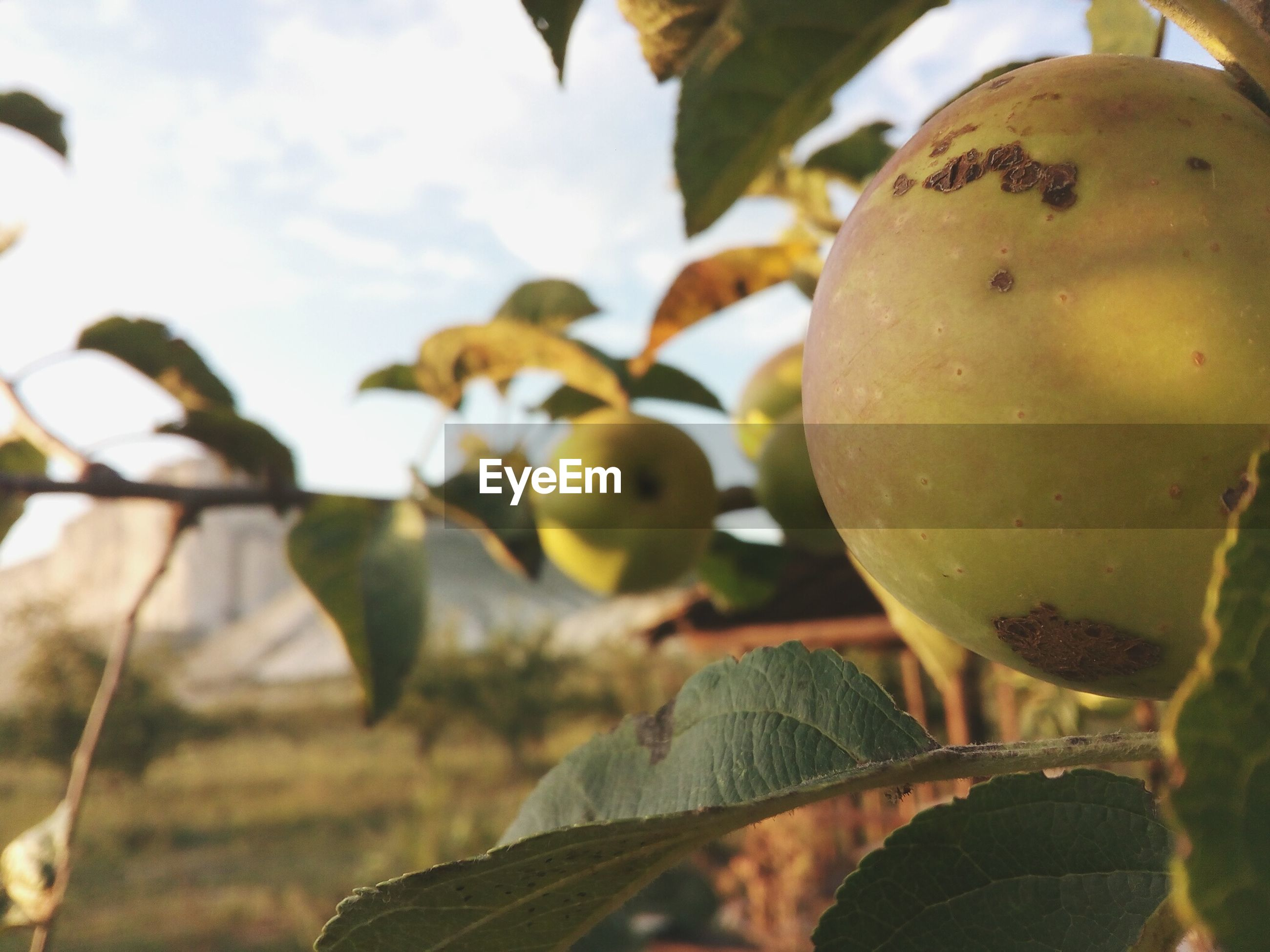 Close-up of apple growing on tree against sky