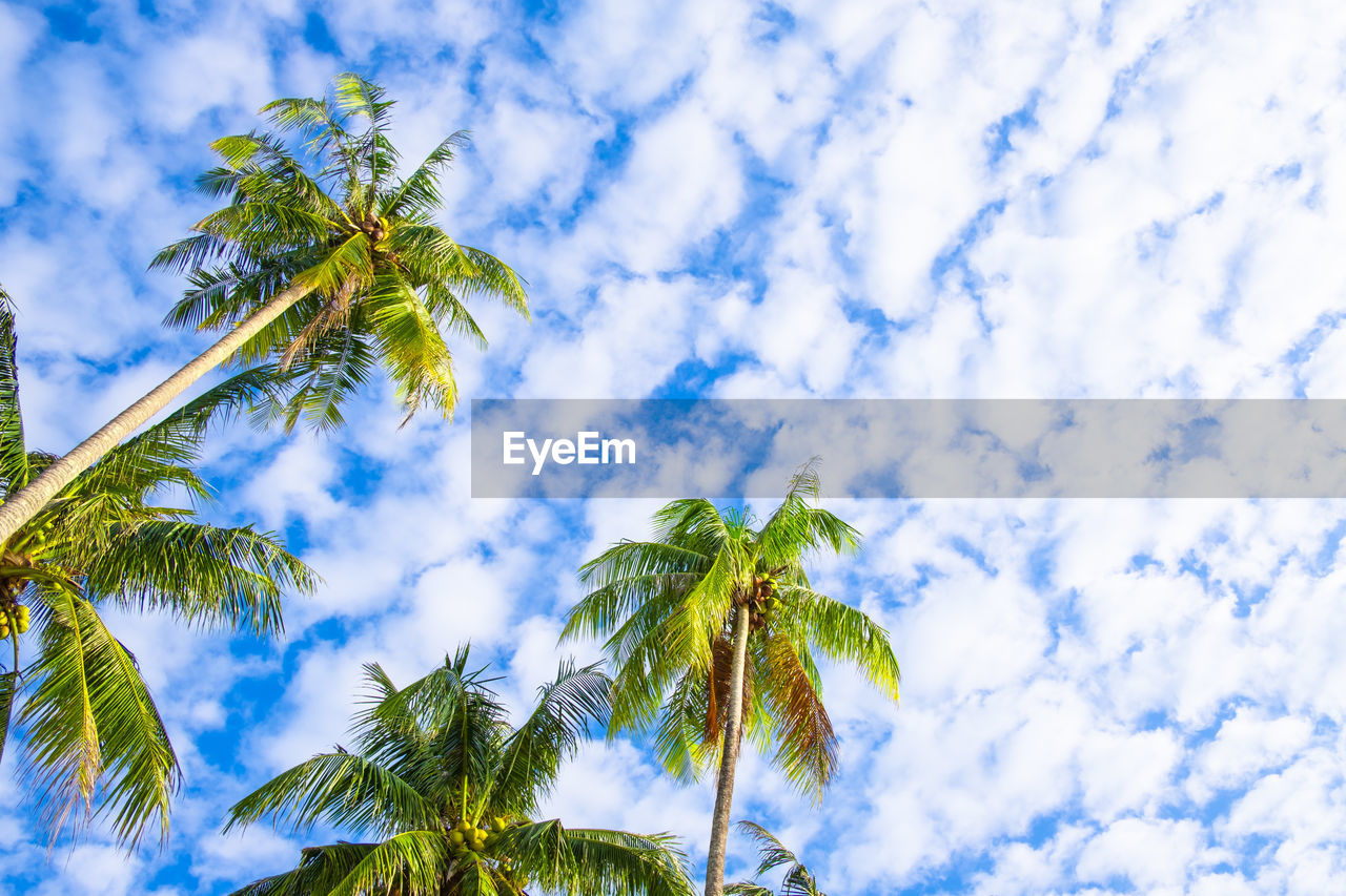 sky, plant, tree, low angle view, cloud - sky, growth, leaf, beauty in nature, green color, no people, tropical climate, nature, palm tree, plant part, day, blue, tranquility, branch, outdoors, coconut palm tree, palm leaf