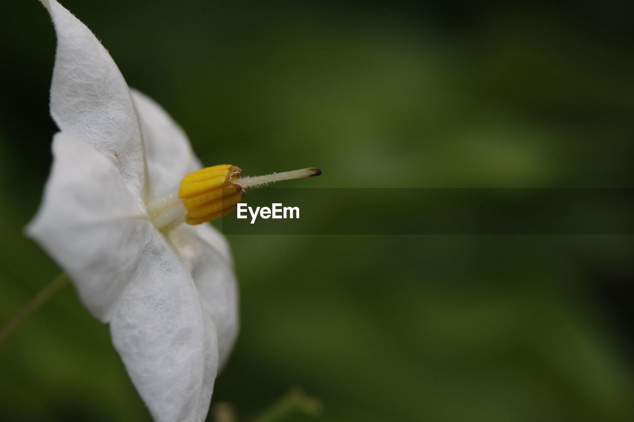 close-up, focus on foreground, petal, plant, flower, flowering plant, fragility, beauty in nature, vulnerability, growth, day, inflorescence, flower head, nature, outdoors, freshness, green color, no people, holding, pollen