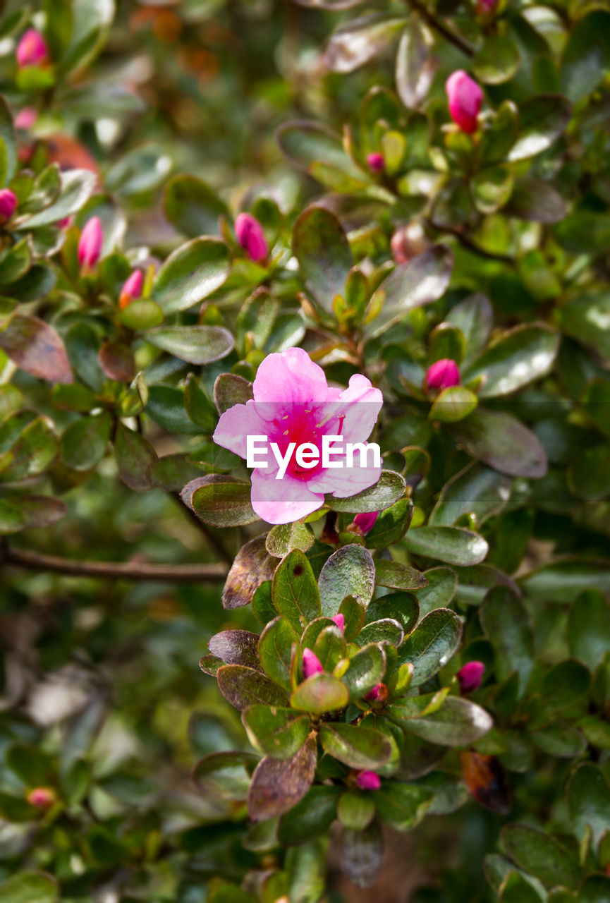 flower, pink color, growth, petal, no people, nature, beauty in nature, leaf, green color, day, outdoors, blooming, fragility, flower head, close-up, freshness, periwinkle