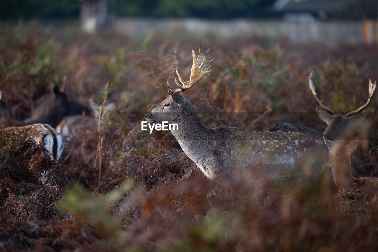 animal wildlife, animals in the wild, deer, animal, animal themes, antler, mammal, land, vertebrate, selective focus, no people, one animal, nature, field, day, horned, herbivorous, plant, beauty in nature, outdoors
