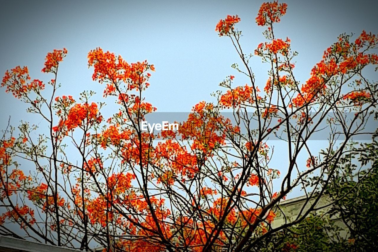 low angle view, growth, orange color, beauty in nature, tree, nature, outdoors, day, no people, branch, tranquility, flower, autumn, sky, freshness, clear sky, close-up