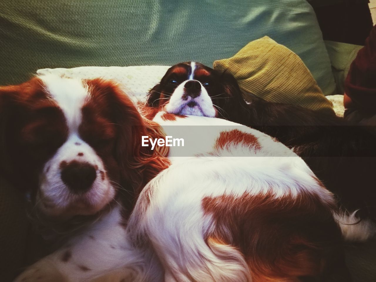 Close-up of dogs on bed at home