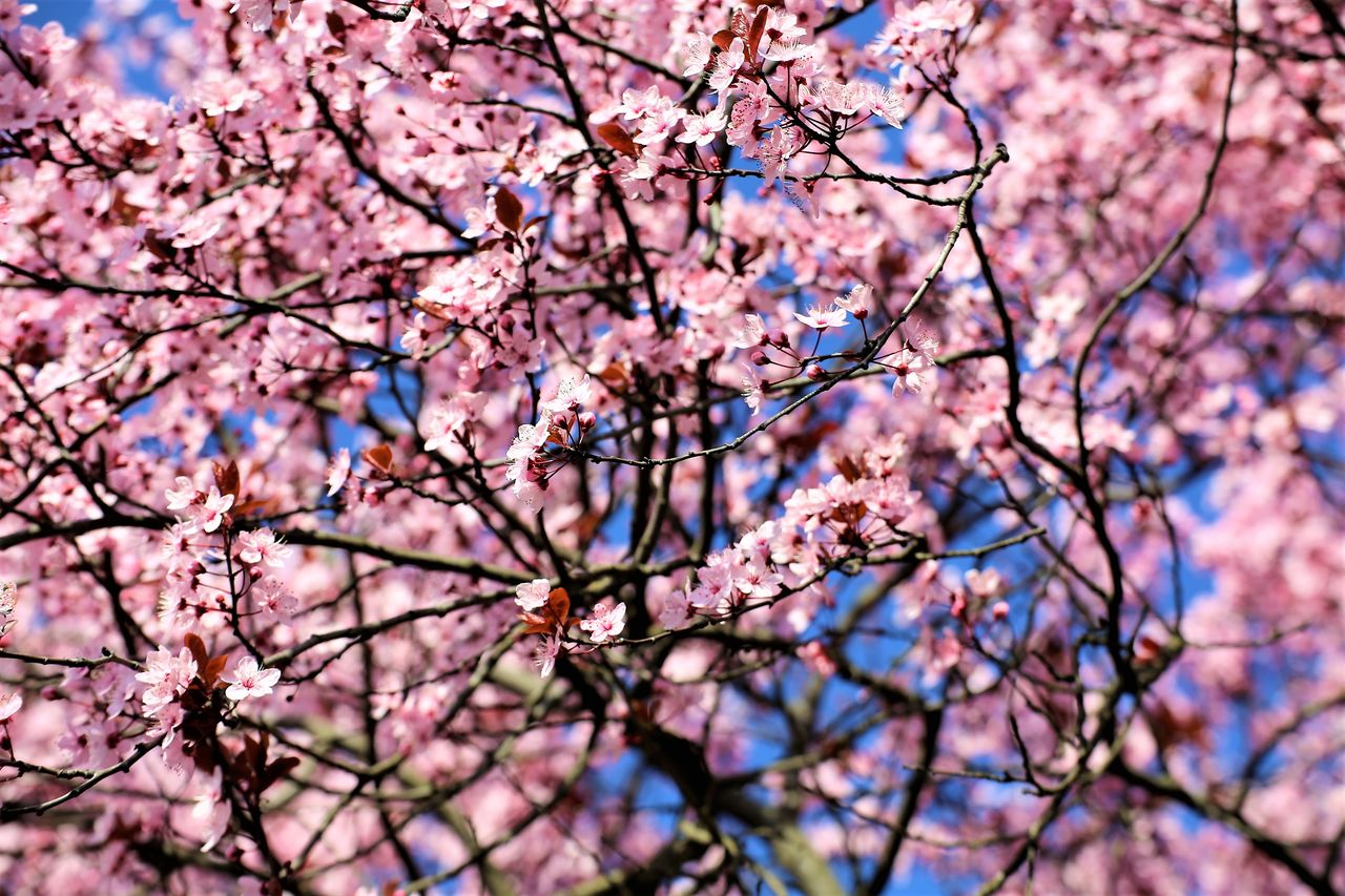 branch, flowering plant, flower, tree, fragility, plant, pink color, growth, blossom, beauty in nature, springtime, vulnerability, freshness, low angle view, nature, no people, cherry blossom, sky, cherry tree, day, outdoors, plum blossom, spring, flower head