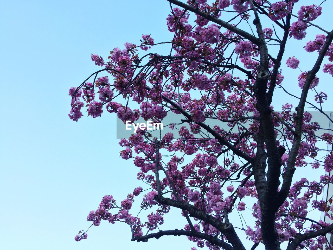 flower, blossom, tree, growth, low angle view, beauty in nature, springtime, nature, fragility, branch, botany, freshness, pink color, magnolia, day, no people, apple blossom, clear sky, petal, spring, outdoors, blooming, sky, close-up, flower head